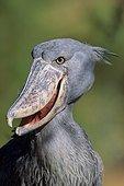 Shoebill stork (Balaeniceps rex), San Diego, California, USA