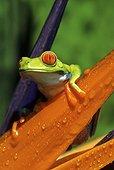 Rainette à yeux rouges (Agalychnis callidryas), Costa Rica