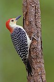 Red bellied woodpecker(Melanerpes carolinus), Okeeheelee Park, Florida, USA