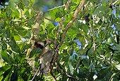 Brown-throated three-toed sloth (Bradypus variegatus), Finca La Suerte, Costa Rica