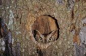 Eastern screech owl (Megascops asio) in tree cavity, Archer, Florida,USA