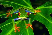 Red eyed tree frog (Agalychnis callidryas), Tortuguero National Park, Costa Rica