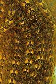 Tussock moth (Orgyia sp) caterpillars, Costa Rica