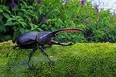 Hercules Beetle (Dynastes hercules septentrionalis), Monteverde, Costa Rica
