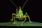 Cone-headed katydid (Copiphora rhinoceros), Tortuguero, Costa Rica