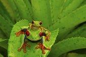 Rainette à yeux rouges (Agalychnis callidryas) sur Broméliacée, Costa Rica