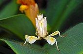 Orchid mantis (Hymenopus coronatus), Florida, USA