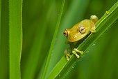 Tree frog (Hyla granosa), Tambopata National Reserve, Peru