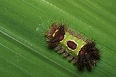 Flannel moth (Acharia stimulea), Saddleback caterpillar, Florida, USA