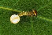 Polyphemus moth (Antheraea polyphemus) caterpillar hatching, Florida, USA