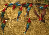 Red-and-green macaw (Ara chloropterus) looking for clay on cliff, manu, Peru