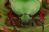 Flower beetle (Eudicella euthalia), Florida, USA