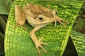 Borneo earred tree frog (Polypedates otilophus), Florida, USA