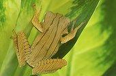 Borneo earred treefrog (Polypedates otilophus), Florida, USA