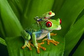 Red-eyed tree frogs (Costa Rica)