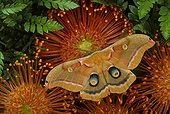 Polyphemus moth (Antheraea polyphemus), Keystone Heights, Florida, USA