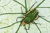 African giant flower beetle (Mecynorhina polyphemus confluens)