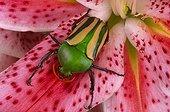 Flower beetle (Eudicella gralli), Florida, USA