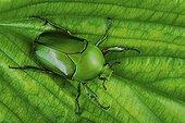 Flower beetle (Dicronorhina micans), Florida, USA