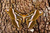 Cynthia Moth (Samia cynthia), Florida, USA