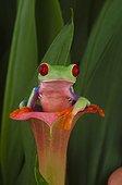 Red-eyed tree frog (Agalychnis callidryas), Florida, USA