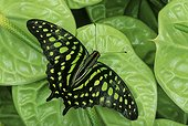 Tailed jay butterfly (Graphium agamemnon), Florida, USA
