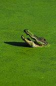 American alligator (Alligator mississippiensis), Florida, USA
