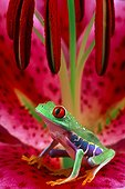 Rainette à yeux rouges (Agalychnis callidryas)