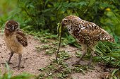 Adult male burrowing owl offering common iguana to juvenile burrowing owl (USA, Florida, Boca Raton)