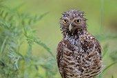 Burrowing owl (Athene cunicularia floridana), Boca Raton, Florida, USA