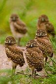 Burrowing owls (USA, Florida, Boca Raton)