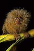 Pygmy Marmoset (Callithrix pygmaea), Amazon, Peru