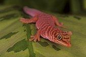 Standing day gecko (Phelsuma standingi), Florida, USA