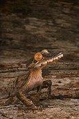 Giant leaftail gecko (Uroplatus fimbriatus), Florida, USA