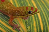Gold Dust Day Gecko (Phelsuma laticauda), Florida, USA