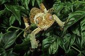 Mossy leaf-tail gecko (Uroplatus sikorae), Florida, USA