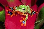 Java Flying Frog (Rhacophorus reinwardtii), Florida, USA