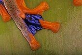 Foot of a java flying frog (Rhacophorus reinwardtii), Florida, USA