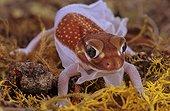 Pilbara smooth knob tailed gecko (USA, Florida)