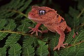 Banded Knob-tail Gecko (Nephrurus wheeleri cinctus), Florida, USA