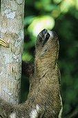 Brown-throated Sloth (Bradypus variegatus), Peru