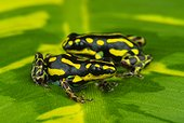 Dyeing poison frog (Ranitomeya flavovittata), Amazon, Peru