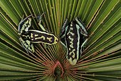 Pleasing poison frogs (Ameerega bassleri), Amazon, Peru