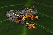 Rainette (Cruziohyla craspedopus), Amazonie, Pérou