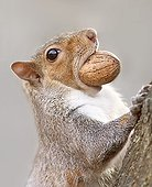 Eastern gray squirrel (Sciurus carolinensis) with a nut in its mouth, Legnano, Milano, Italy