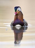 Mandarin Duck (Aix galericulata) male on the water, Racconigi, Cuneo, Italy