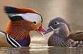 Mandarine duck (Aix galericulata) couple facing, Racconigi, Cuneo, Italy
