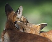 Tenderness (Cogne, Val d'Aosta, Italy)