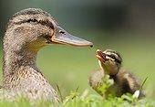 Mallard (Anas plathyrhyncos) female and duckling, Trezzo sull'adda, Milano, Italy
