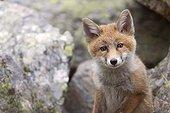 Little fox (Valsavaranche, Valle d'Aosta, Italy)